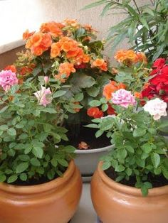 VAMOS PLANTAR ROSAS NO VASO???QUE COISA LINDA Q FICA!!! My Secret Garden, Shade Garden, Potted Plants, Garden Pots, Dahlia, Beautiful Flowers, Planter Pots, Floral Wreath, Wreaths