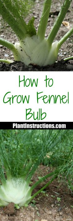 How to Grow Fennel Bulb