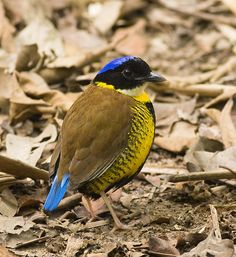 Gurney's Pitta (Pitta gurneyi) Pretty Birds, Beautiful Butterflies, Beautiful Birds, Different Birds, Kinds Of Birds, Horse Pictures, Nature Pictures, Funny Birds, Pitta