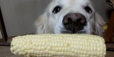 The Proper Etiquette For Eating Corn On The Cob, As Shown By A Dog