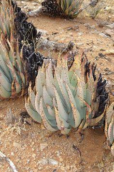 Aloe claviflora  June 2017 Agaves, Desert Lizards, Ironwood Tree, Desert Gardening, Plant Species, Cacti And Succulents, Air Plants, Aloe, Habitats