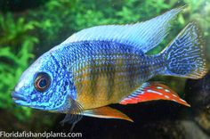 Protomelas Cichlid for Sale Online Aquarium Fish Food, Tropical Aquarium, Planted Aquarium, Tropical Fish, Malawi Cichlids, African Cichlids, Cichlid Fish, Under The Ocean, Fish For Sale
