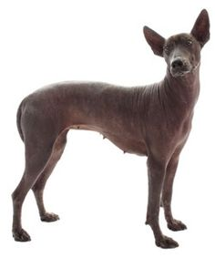 Learn how to properly exercise a Xoloitzcuintli and the dangers of denying adequate exercise to this working dog breed.