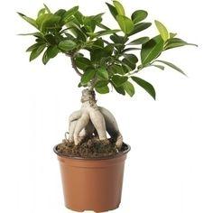 Bonsaifikus til hylla Ficus Ginseng, Ficus Microcarpa, Bonsai, Houseplants, Greenery, Balcony, Google, Lily, Alternative