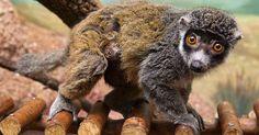 lemure under its mother