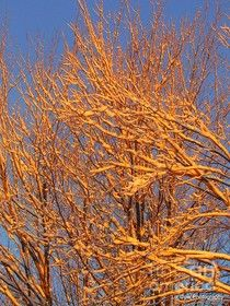 Orange Snow Covered Trees Photograph by Elizabeth Dow - Orange Snow Covered Trees Fine Art Prints and Posters for Sale