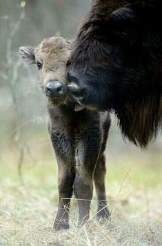 Yellowstone Bison grooming calf. Photo by Gina Chronowicz from Twitter.