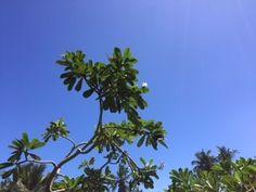 Araliya trees