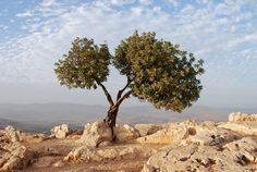 Tree overlooking Sea of Galilee