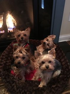 Cozy by the fire ❤️ Cute Puppies, Cute Dogs, Dogs And Puppies, Animals And Pets, Cute Animals, Teacup Yorkie, Silky Terrier, Cute Puppy Pictures, Yorkie Dogs