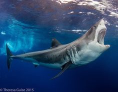 Amazing Shark Photos from our 2016 Underwater Photography Contest great white shark mexico underwater photography scubagreat white shark mexico underwater photography scuba Underwater Animals, Underwater Photos, Underwater Photography, Ocean Underwater, Save The Sharks, Cool Sharks, Whale Sharks, Shark Pictures, Shark Photos