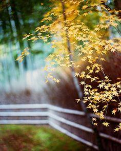 Autumn Leaves, Kyoto.