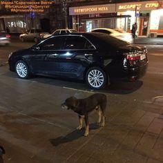 """Только что пришло сообщение от подписчика: """" Около Irish pub на проспекте бегает пёс в ошейнике,скулит воет """"  Если кто-то потерял - пишите в профиль @saratovskie_vesti (https://www.instagram.com/saratovskie_vesti/ )  Спасибо за помощь! ___________________ #НеКандидатНедепутат #АртемовМаксим #СаратовскиеВести #ВнеПолитики #потеря #нашли #собака #потерялась #собакалучшийдруг #собакадруг #собакисаратов #собакасаратов #саратов #энгельс #saratov #engels #saratov64 #поиск #хозяин #найдись"""