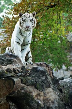 ~~ The Land of White Tigers ~~