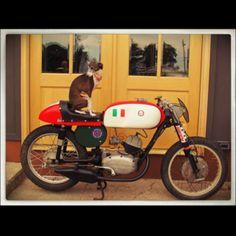 Go-faster Italian Greyhound!