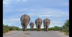 """Premiação da Zoological Society of London mostra beleza do mundo animal e alerta para ameaça de extinção de espécies. A fotógrafa Cathy Withers-Clarke enviou esta foto de elefantes em uma estrada no Parque Nacional de Elefantes Addo, na África do Sul, para a categoria """"Tamanho é importante"""",  Fotografia: Cathy Withers-Clarke."""