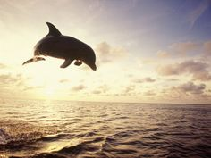 Bottlenose Dolphin Jumping Out of Water Photographic Print