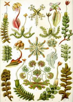 Plate 82 from Ernst Haeckel's Kunstformen der Natur (1904), in which are depicted a selection of liverworts