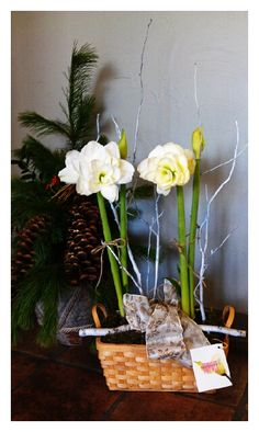 Amaryllis plant with festive accents. Great holiday gift or centerpiece. Starting at $50