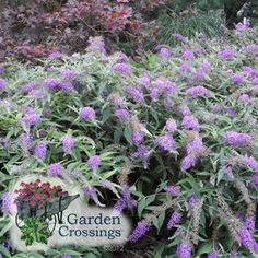 Lo & Behold® Buddleia x 'Purple Haze'This dwarf variety has a horizontal, low spreading, non invasive habit excellent for use as a ground covering plant.  Full Sun.  Flower Color: Purple Blue Height: 2-3 Feet     Spread: 4-5 Feet Hardiness Zone: 5-9