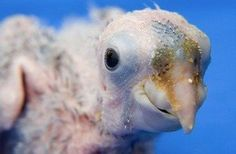 I think he's adorable!!  Nelson is a Kea Parrot hatched in a zoo in Germany.
