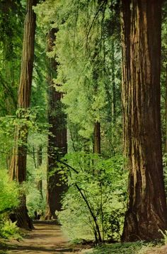 ⤜»↣◈↢«⤛Muir Woods National Monument, California  National Geographic, 1959