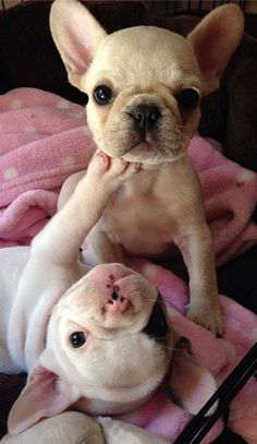 French Bulldogs Playings