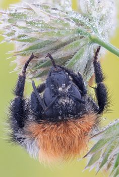 Sleeping bumblebee | photo pinned by Western Sage and KB Honey (aka Kidd Bros)