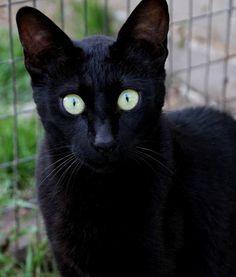 Melanistic Savannah Cat by broadsurf, via Flickr