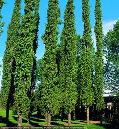 Populus tremula 'Erecta'