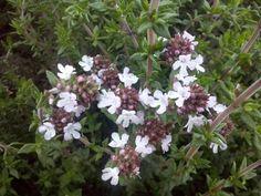 Apetecibles flores de tomillo