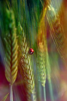 coccinelle sur le blé