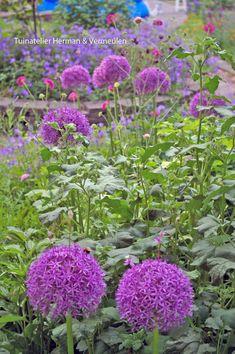 Sierui of allium is een bolgewas, en bloeit vanaf mei. Echt een bol die je overal kunt planten. Allium geeft structuur en hoogte tussen wat bossiger, laagblijvende vaste planten. Wij kunnen er nooit genoeg van hebben en blijven ze planten. Hier in de collectieve tuin 'De Omscholing' in Rotterdam.