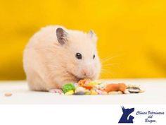 https://flic.kr/p/PVFX77 | Alimento para hámster. CLÍNICA VETERINARIA DEL BOSQUE 1 | Alimento para hámster. CLÍNICA VETERINARIA DEL BOSQUE. Si tienes un  hámster como mascota, es importante que su alimentación esté compuesta de pallets especiales para ellos (de esta manera desgastaran los dientes), semillas y granos de maíz. Utilizar un plato de cerámica o gres pesado, es lo más recomendable para que no pueda ser tumbado fácilmente, en lugar de un plato de plástico que el hámster puede…