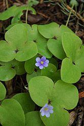 European Liverleaf* Hepatica nobilis, Blåsippa Växtplats: Friska och torra lundar och lundartade skogar. Blomningstid: April–maj.