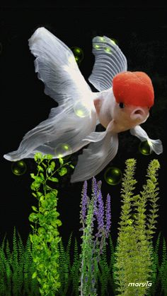GIFS HERMOSOS: poupurri de imagenes encontradas en la web Beautiful Gif, Beautiful Birds, Animals Beautiful, Colorful Fish, Tropical Fish, Goldfish Wallpaper, Oranda Goldfish, Fauna Marina, Gifs