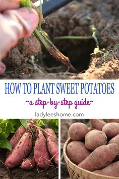 this post, we will learn how to plant sweet potatoes. We are going to go over how you can grow potato slips on your own, where to purchase them if you decide not to grow them, and how to plant them in the garden correctly to ensure the best harvest. Sweet Potato Slips, Sweet Potato Plant, Organic Vegetables, Growing Vegetables, Gardening Vegetables, Organic Plants, Organic Soil, Potato Gardening, Growing Sweet Potatoes