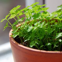 Parsely  Grow it: Thrives in a pot in the sun as long as the soil is kept moist. Feed with organic fertilizer.    Use it: Immune-system booster. Eat one tablespoon of chopped flatleaf or curly parsley daily. Chewing parsley neutralizes mouth odors.    Read more: Check out our Parsley Growing Guide.