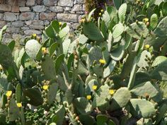 Yellow flowering cactus. Memories, Yellow, Cactus, Fruit, Photography, Food, Plants, Garden, Prickly Pear Cactus