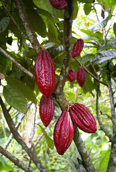^Theobroma cacao is a small (4-8m tall) evergreen tree in the family Malvaceae native to the deep tropical region of South America. Its seeds are used to make cocoa powder and chocolate