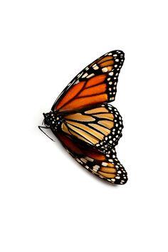 monarch   STILL  (mary jo hoffman)