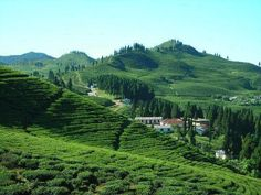Tea estate of ILAM in NEPAL.