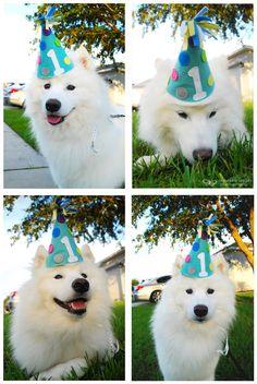 #Samoyed celebrating :)