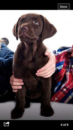 Choc lab puppy (nina)