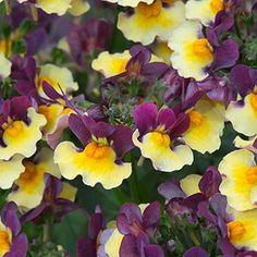 With its delightful deep violet and gold flowers, the sweetly scented, two-tone 'Rhubarb and Custard' flowers of this choice Nemesia appear fr Nemesia Flowers, Geranium Rozanne, Rhubarb And Custard, Border Plants, Bee Friendly, Summer Plants, Hardy Perennials, Chelsea Flower Show, All Flowers