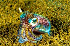 The tiny Hawaiian Bobtail Squid. These beautiful rainbow colored squid inhabit only a specific area of the central Pacific Ocean in the vicinity of the Hawaiian Islands. Underwater Creatures, Underwater Life, Ocean Creatures, Beautiful Sea Creatures, Animals Beautiful, Baby Animals, Cute Animals, Fauna Marina, Les Reptiles