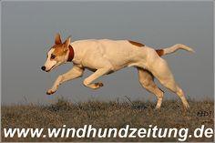 magyar_agar Magyar Agar, Dogs, Animals, Animales, Animaux, Pet Dogs, Doggies, Animal, Animais