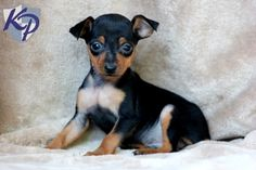 Easton – Miniature Pinscher Puppies for Sale in PA | Keystone Puppies