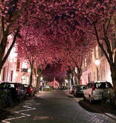 Cherry Blossom Avenue, Bonn, Germany