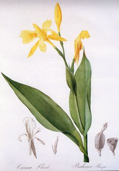 Digitalis purpurea by Georg Ehret (1708-1770) | Scientific & Botanical Illustration | Pinterest ...
